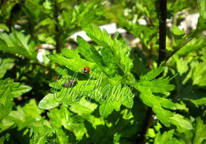 Baru China (Artemisia Vulgaris L)
