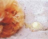 Hình 2: Gà bệnh tiêu chảy phân loãng trắng.