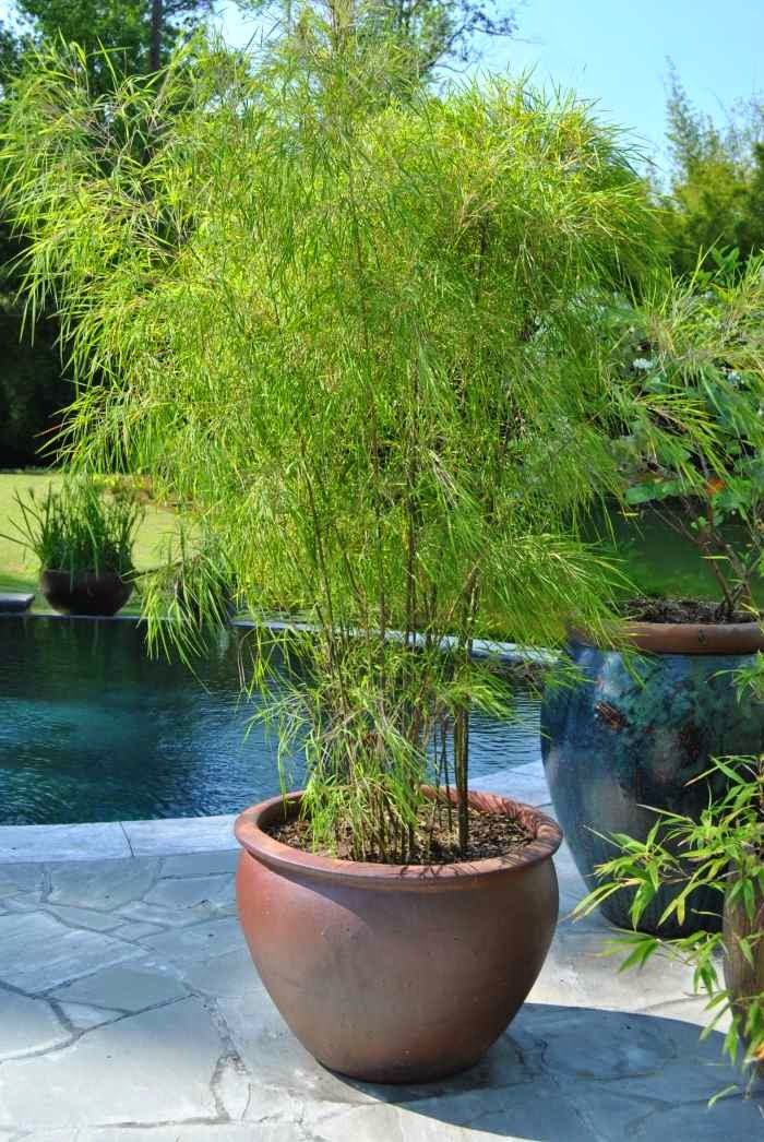 Bamboo in the garden a fascinating and versatile plant for Easy care outdoor plants