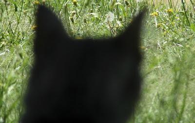 állatvilág, medve, macska,