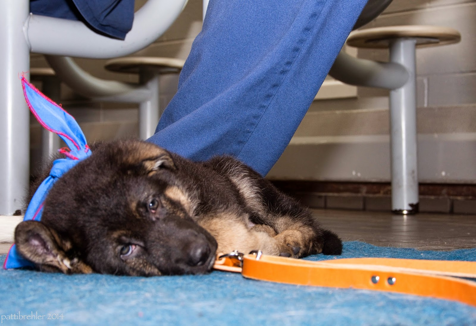 A close shot at floor level of a small german shepherd puppy lying on his right side on a blue mat with his head toward the camera. His leash is next to him and a man's leg in blue pants is behind him. There are lunchroom seats in the background.