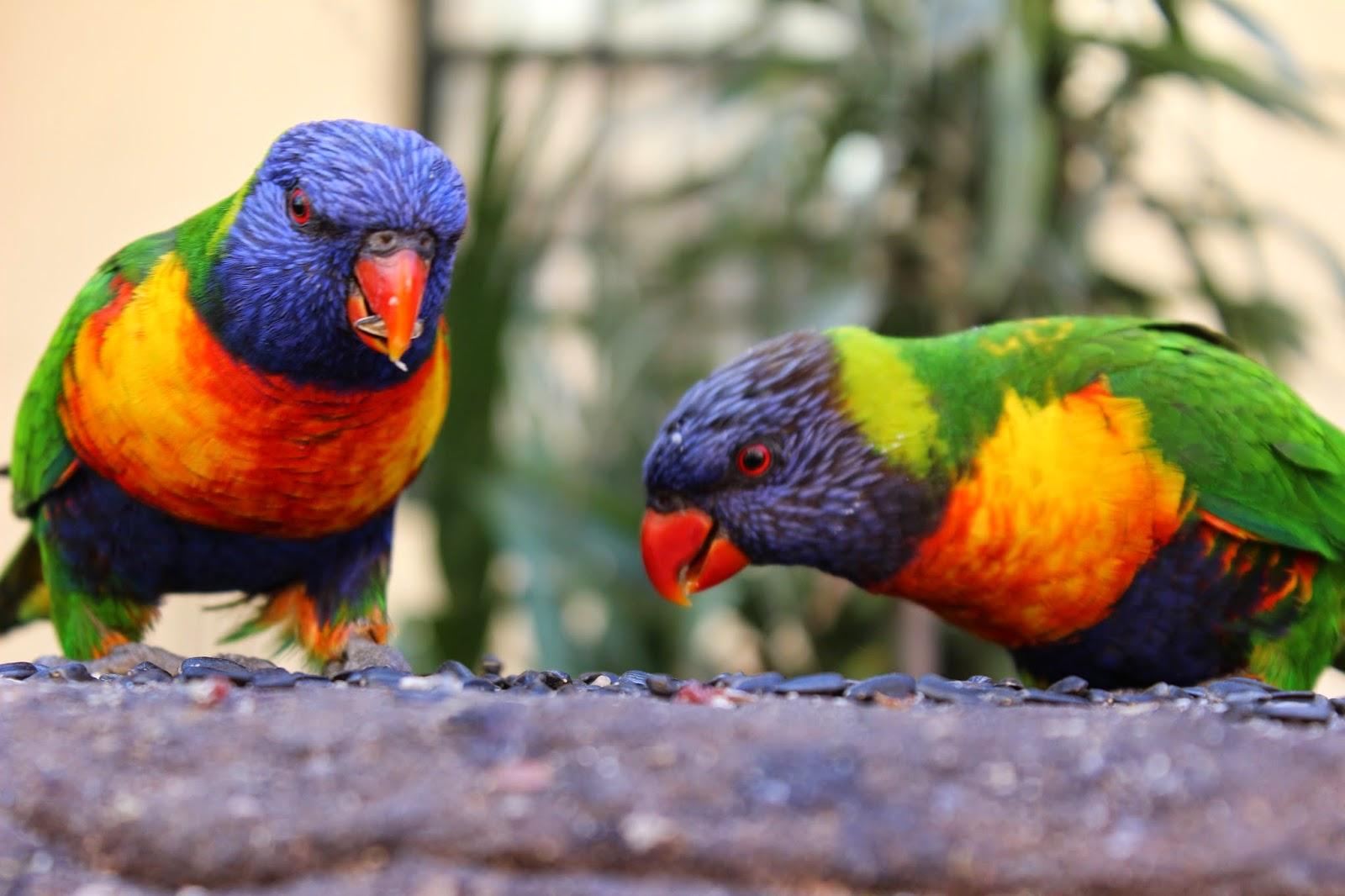 to papegøjer fløj afsted i deres stribede trøjer