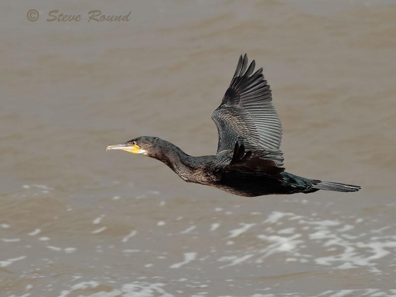 Cormorant, bird
