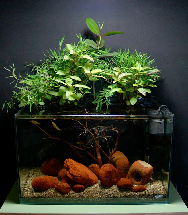 All about betta fish how to setup a planted aquarium for for Floating plants for betta fish