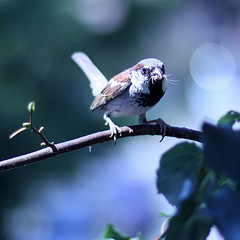 'sparrer' by Jenny Downing on Flickr
