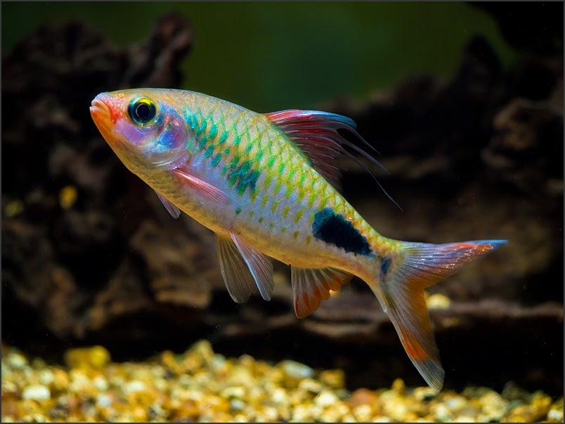 Mascara Barb Freshwater Fish Pinterest