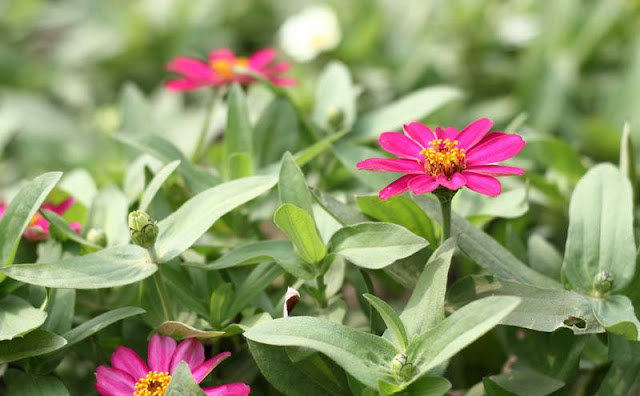 Narrow-Leaf Zinnia Flowers