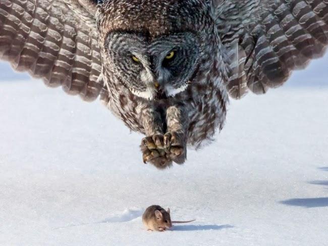 Большие серые совы летят на юг из Канады, чтобы найти пищу. © Том Самуэльсона