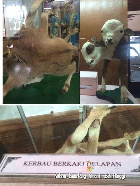 kambing berkepala 8