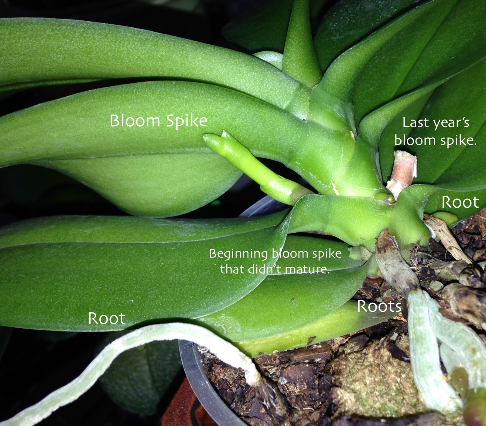 how to cut orchid roots