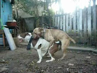 Гей собаки трахают друг друга по очереди