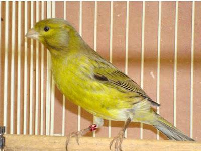 Gambar Burung Kenari Spanish Timbrado