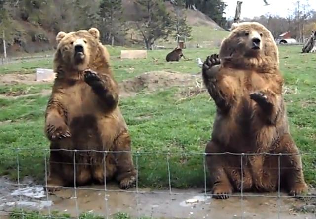 Dois ursos fazendo tchau