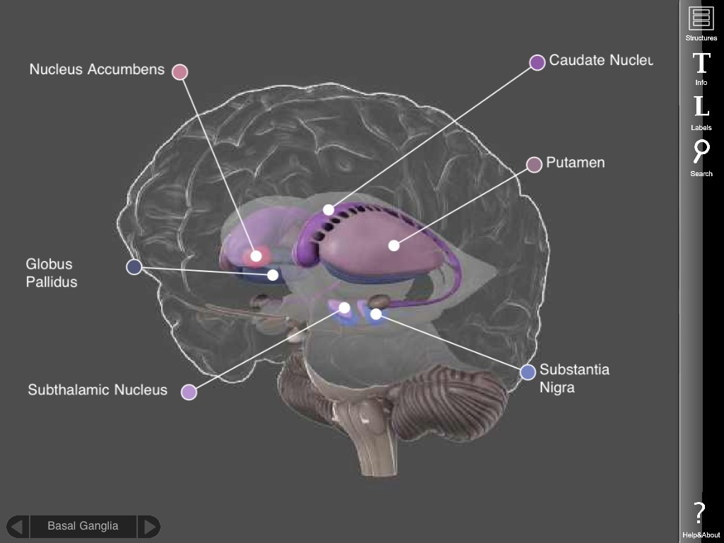 Brain Anatomy Interactive Images - human body anatomy