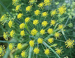 Khasiat Bunga Adas