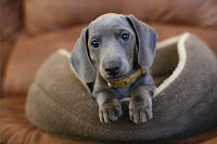 So cute! #Dachshund