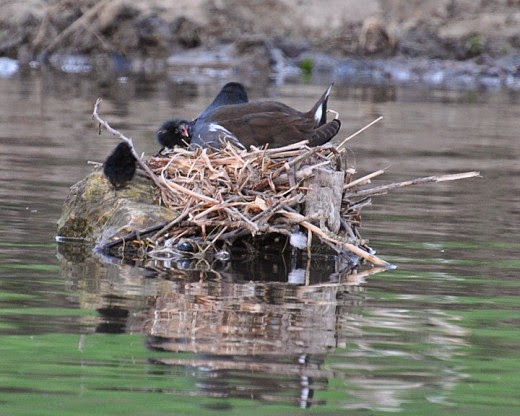 adult moorhen on nest with chicks