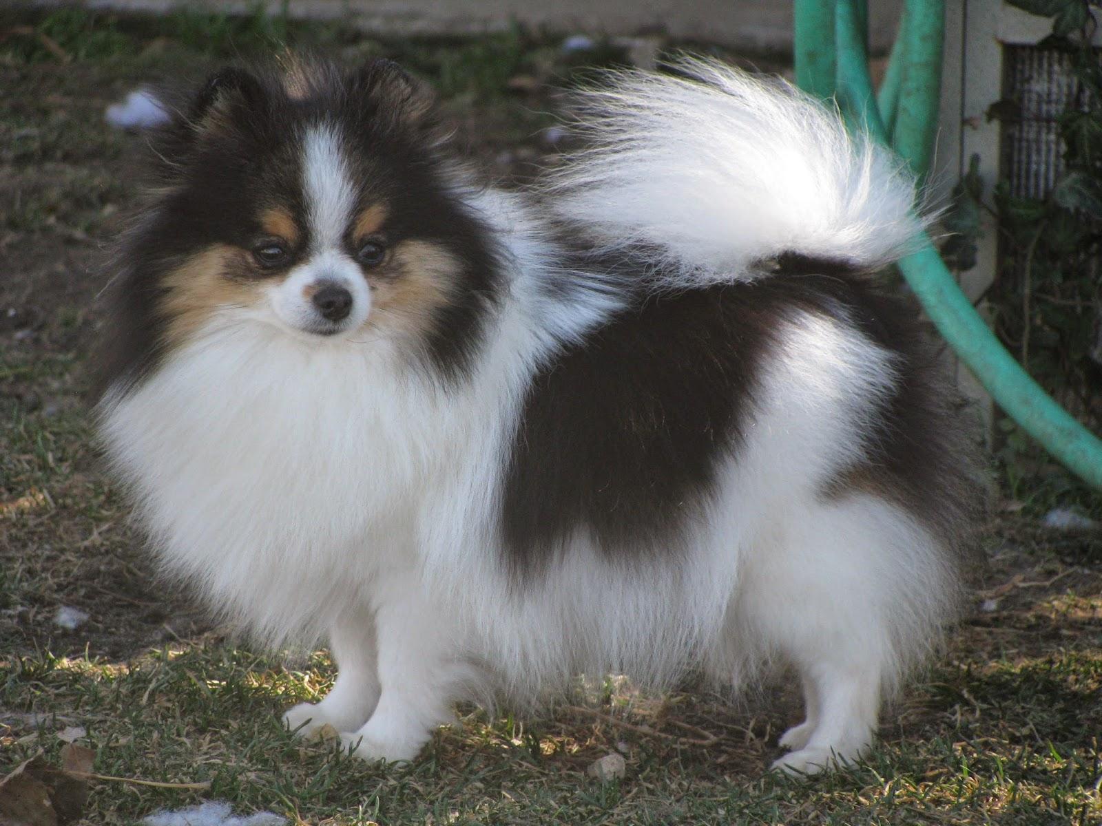 Black And White Parti Pom Dog