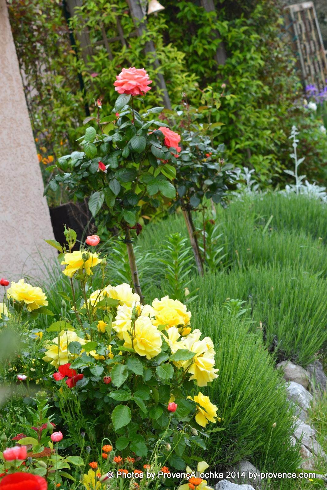 rose,tige,orange,patio