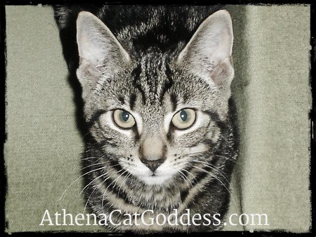 Athena kitten