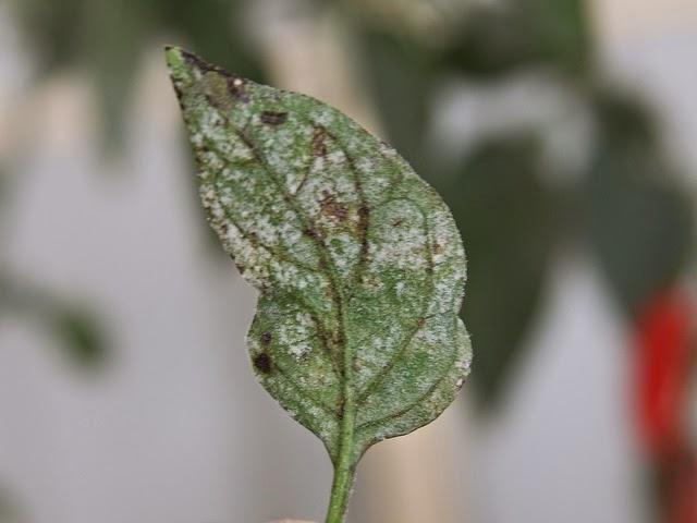 Parte posterior de la hoja con polvo o terciopelo blanco y manchas cafés - Como se combate el hongo oidio o Mildiu (polvo blanco en las hojas)