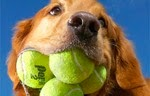 Anjing dengan Bola Tenis Terbanyak di Mulut