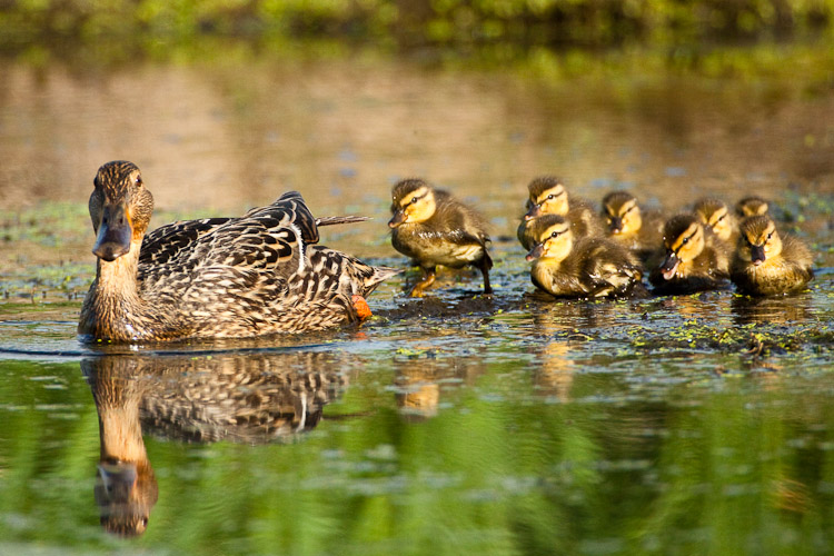 Jerry Mercier - just outside: What the duck?
