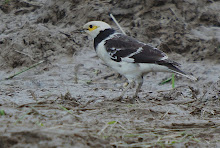 Black-collared Starling_2011