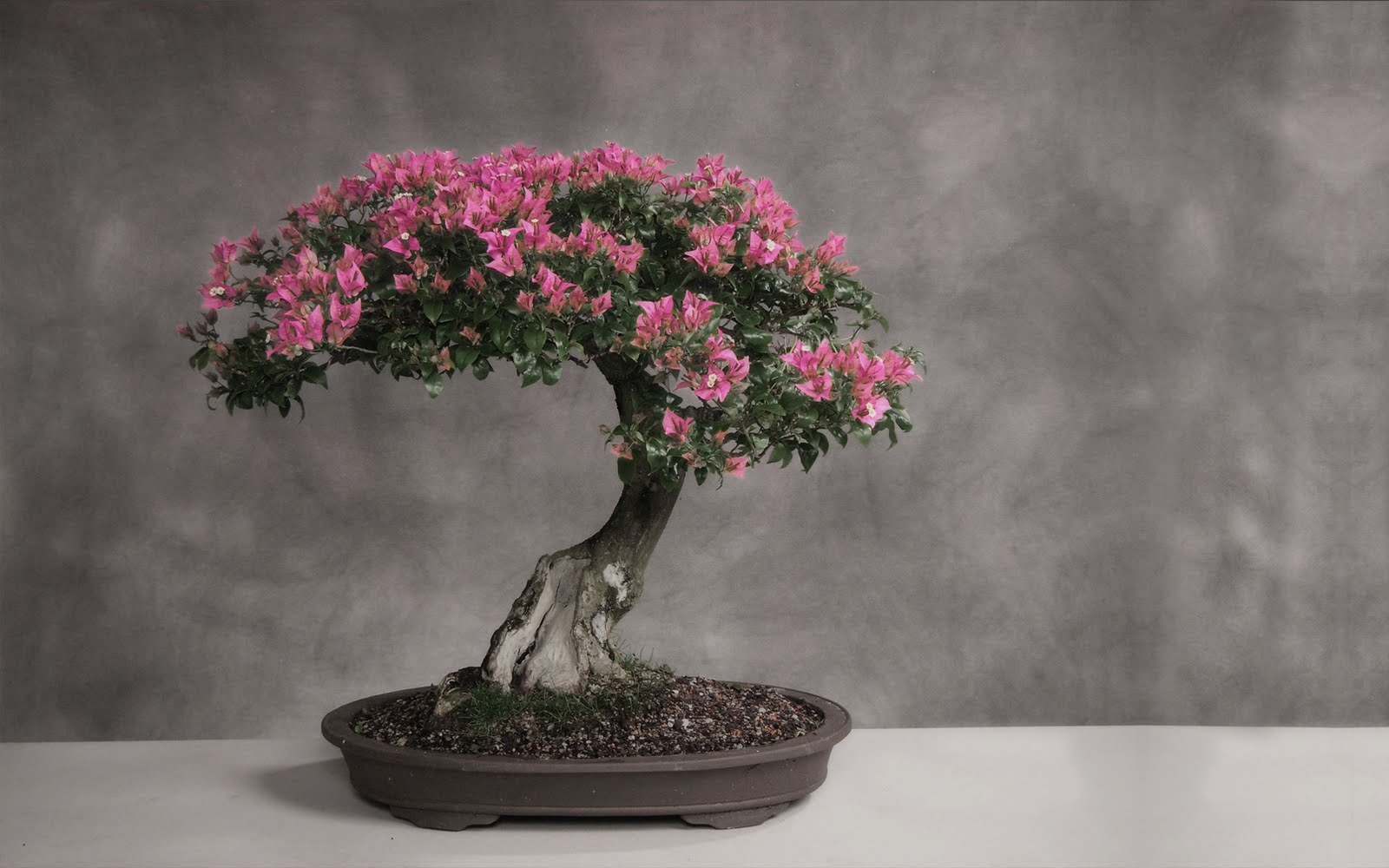 Bonsai Japan Tree Art HD Wallpapers Stock Photos HD Nature