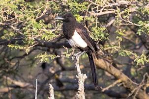 Arabian Magpie (Pica asirensis)
