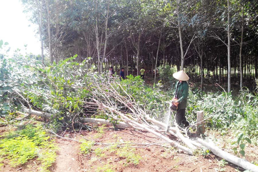 Gia Lai: Nông dân huyện Kbang - Điêu đứng với cây cao su
