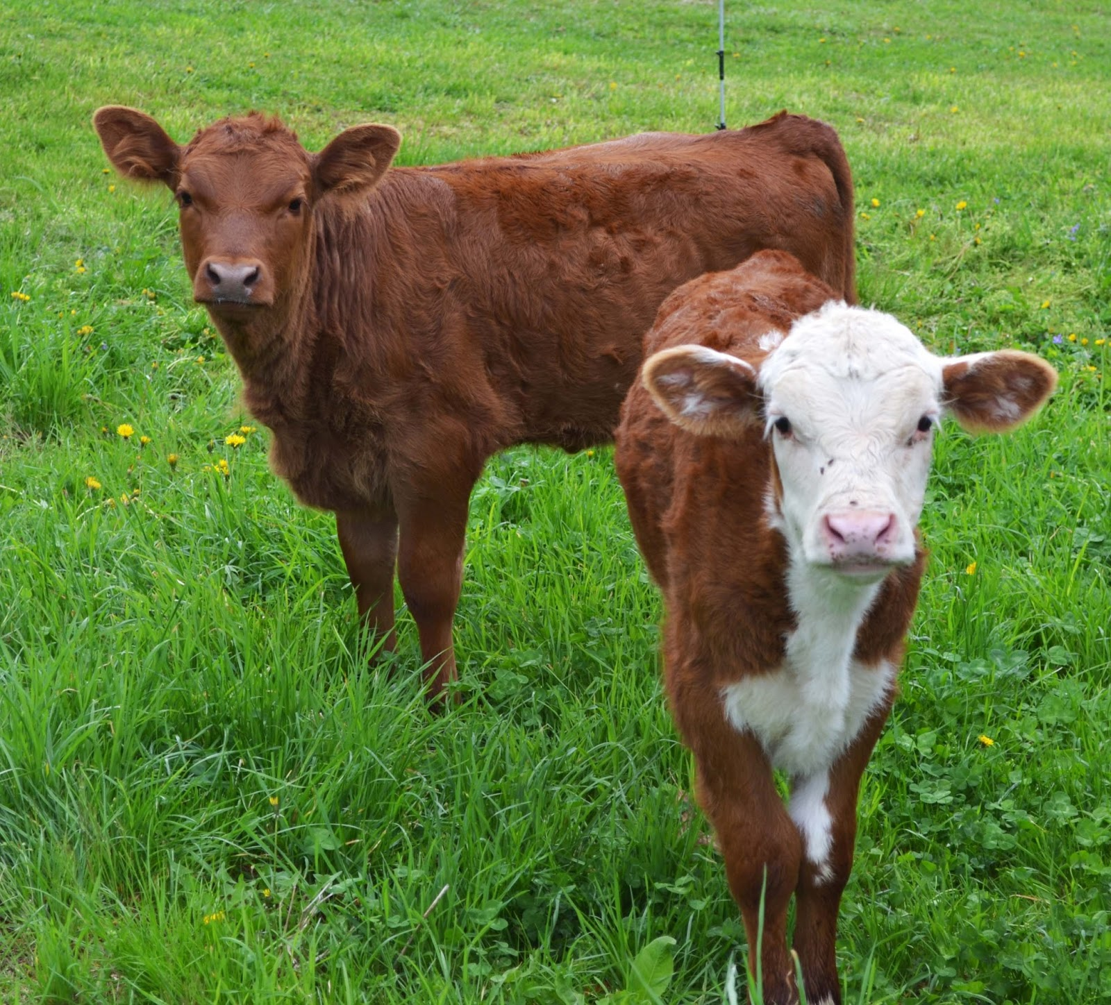 brown calves