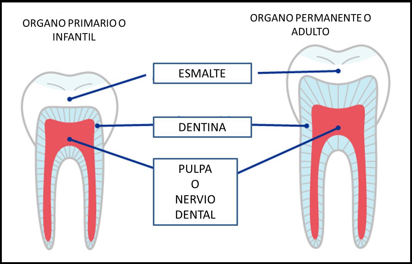 DENTISTAS : Anatomía Del Diente