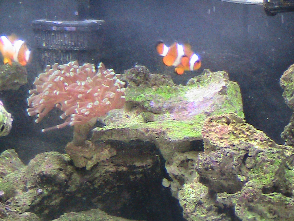 20 gallon reef tank fish reef tank fish 20 gallon reef for Reef tank fish