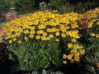 oregon sunflowers