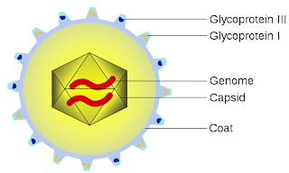 Anatomy of a CMV virus