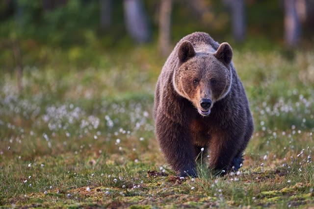 Niedźwiedzie w Bieszczadach