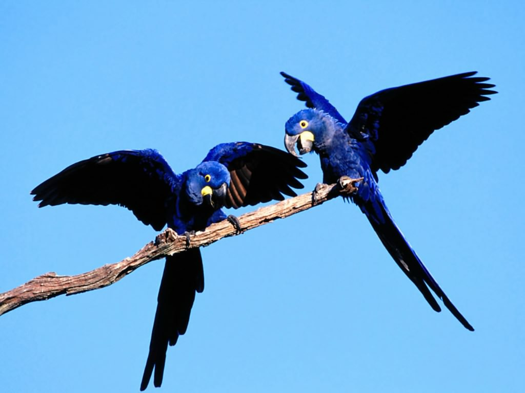 Blue Birds Pictures