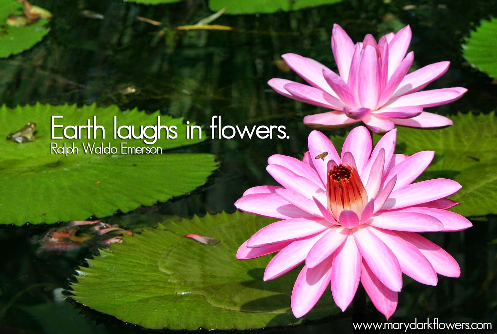 Flower Meanings Water Lily The Water Lily Meaning