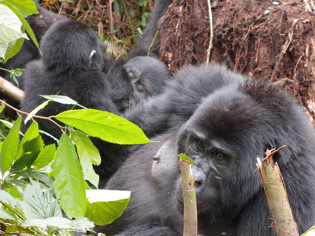Spot the rare mountain gorilla in Uganda