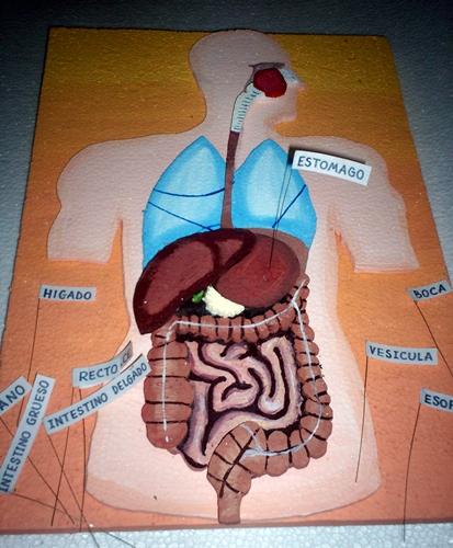 Maqueta Del Sistema Digestivo
