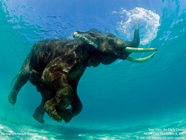 elephants, wallpapers, nature, desktop, HD, HQ, tapandaola111