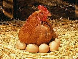 Gà chuyên trứng. Ảnh minh họa.