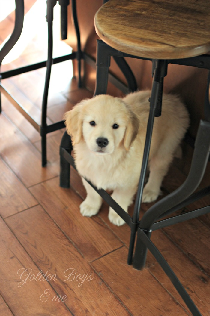 Golden Retriever puppy under kitchen stool - www.goldenboysandme.com