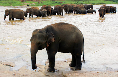Pinnewala Elephant Orphanage, Sri Lanka