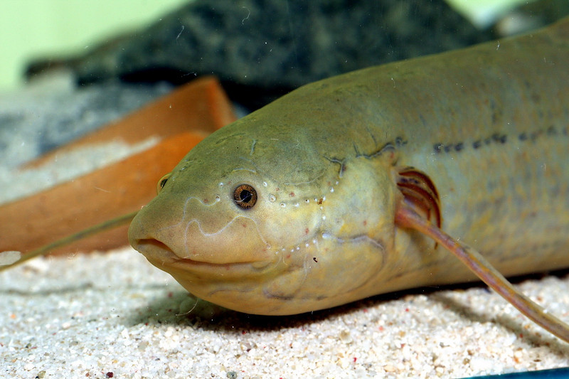 Fishes Images: African lungfish