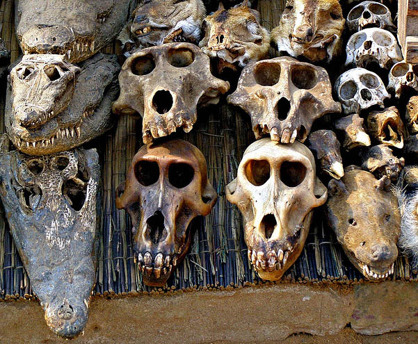 Crocodile skulls selling in voodoo fetish market