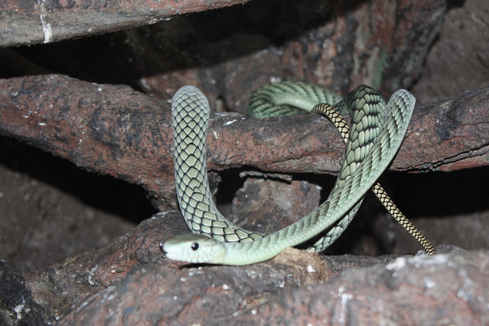 king cobra snake striking