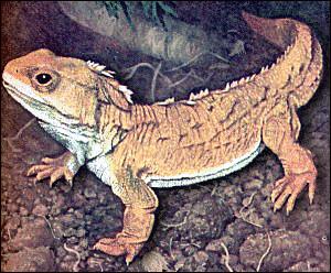 tuatara-sphenodon-punctatus