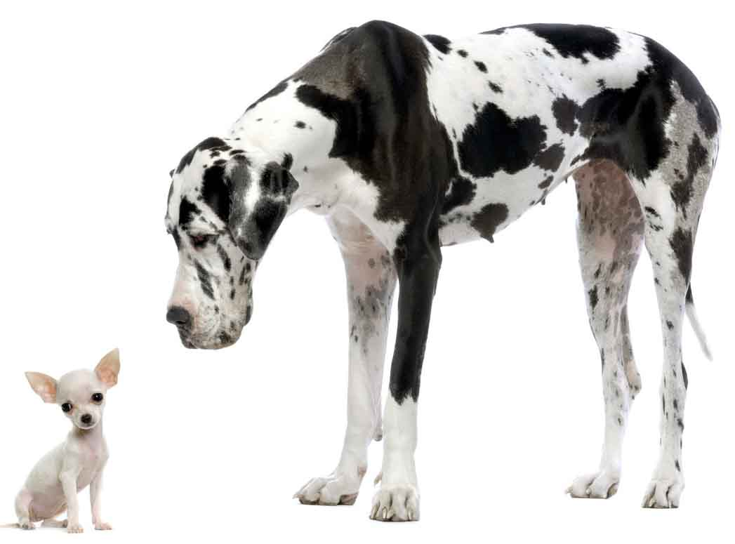 Chihuahua and Great Dane in comparison